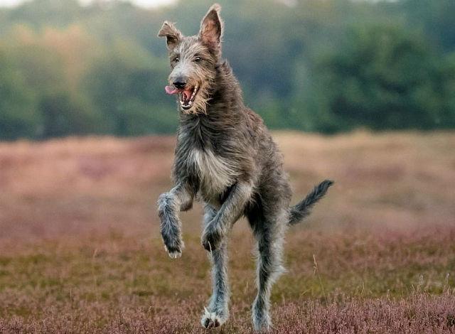 10 крупнейших пород собак - шотландский дирхаунд