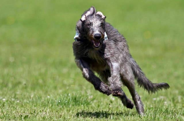 Крупнейшие породы собак - шотландский дирхаунд