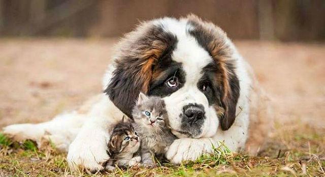 10 крупнейших пород - собака сенбернар