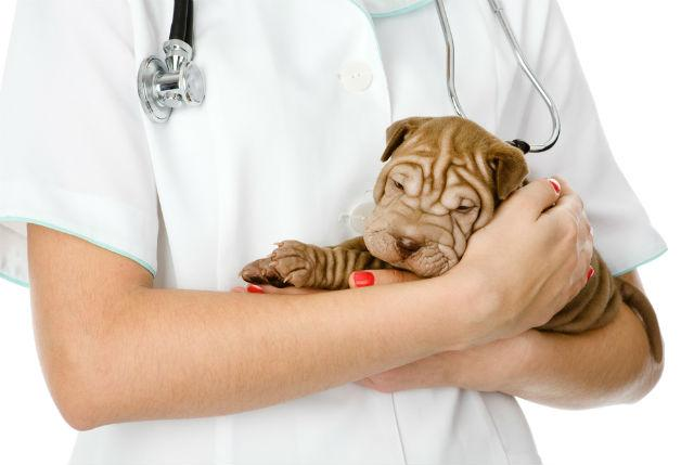 Сколько лет живут шарпеи - посещение ветеринара
