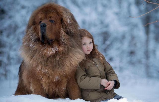 Самые дорогие породы собак - тибетский мастиф