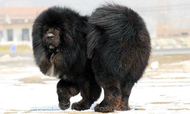 Самые дорогие крупные породы собак - тибетский мастиф