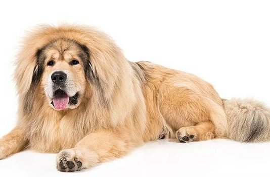 Самые дорогие собаки в мире - тибетский мастиф