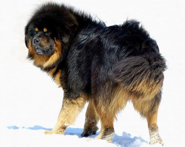 Тибетский мастиф - большая пушистая собака