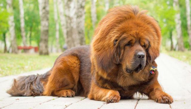 Боьшая пушистая собака - тибетский мастиф