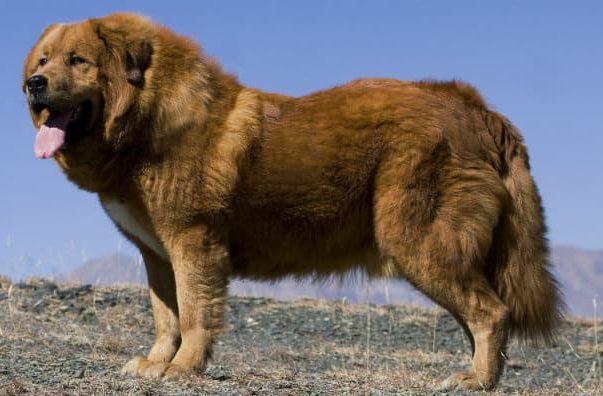 Самые боьшие пушистые собаки - тибетский мастиф
