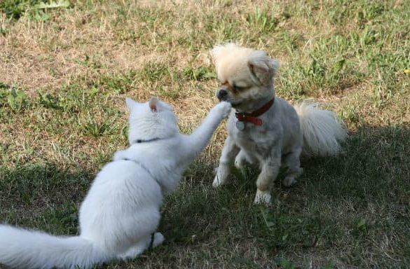 Щенок тибетского спаниеля с кошкой