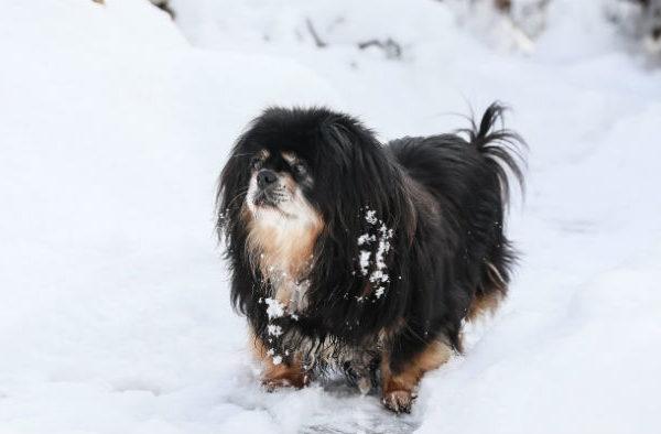 Тибетский спаниель - зимняя прогулка