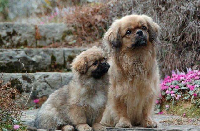 Взрослый тибетский спаниель с щенком