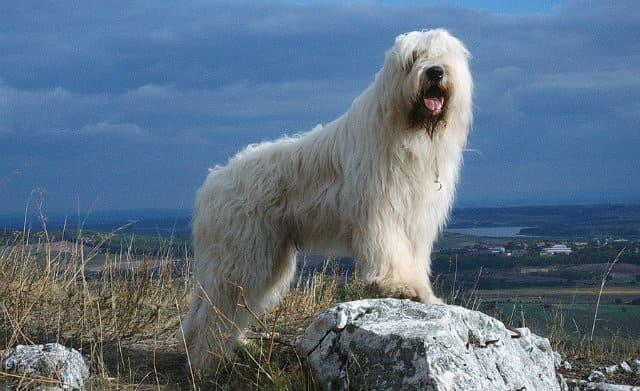 Большая пушистая собака - южнорусская овчарка