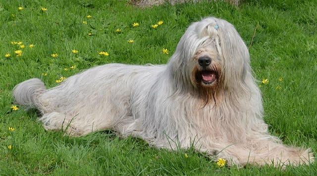 Самые большие пушистые собаки - южнорусская овчарка