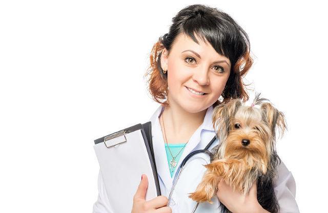 Зуд у йоркширского терьера – обследование у ветеринара