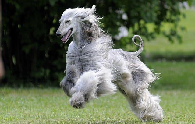 Афганская борзая - глупые породы собак