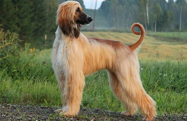 Самые глупые породы собак - Афганская борзая