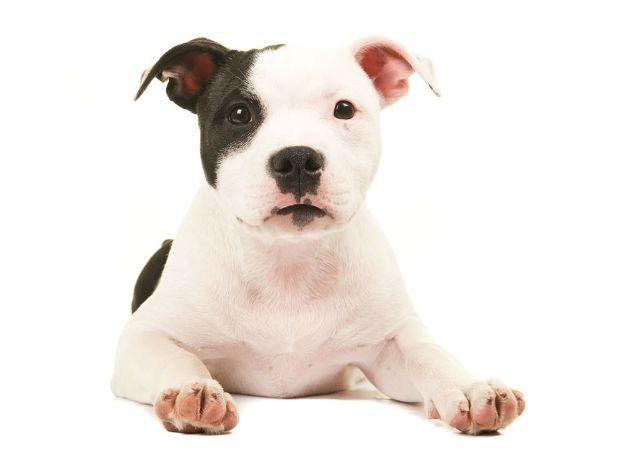 Американский питбультерьер - щенок