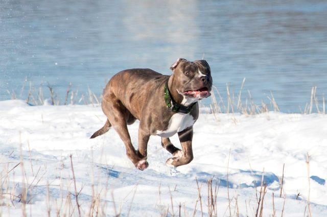 Американский питбультерьер бежит по снегу