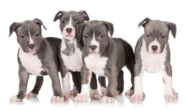 Американский питбультерьер - выбор щенка