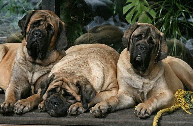 Собаки породы Английский дог