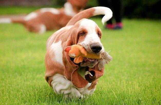 Самые глупые породы собак - Бассет-хаунд