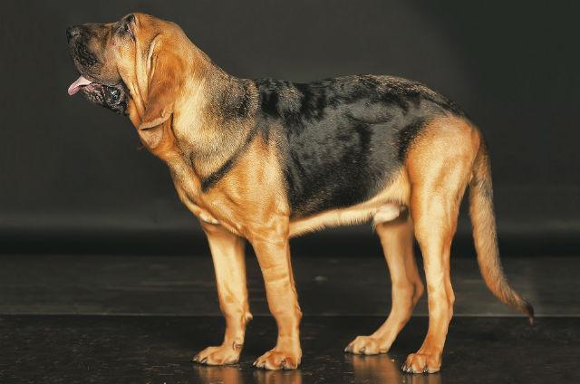 Самые глупые породы собак - Бладхаунд