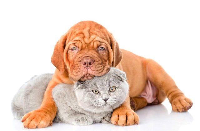 Бордосский дог - щенок и кошка