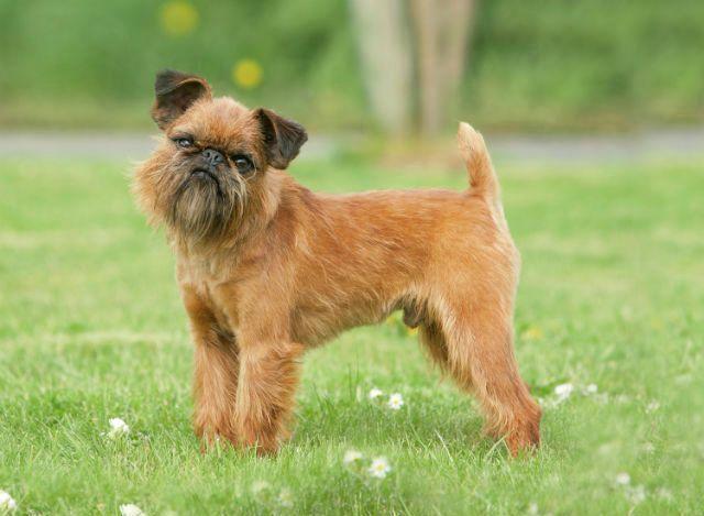Брюссельский гриффон - смешные породы собак