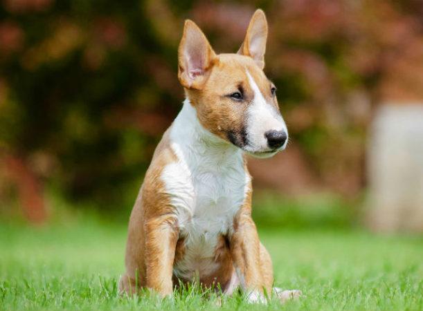 Бультерьер - выбор щенка
