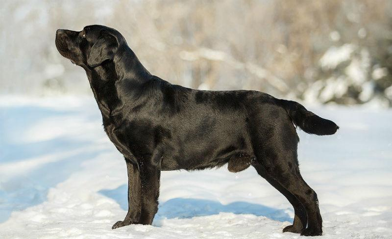 Черный лабрадор - сбоку