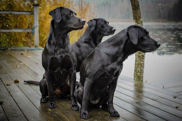 Собаки породы черный лабрадор