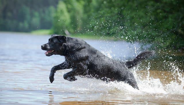 Черный лабрадор - активный отдых на воде