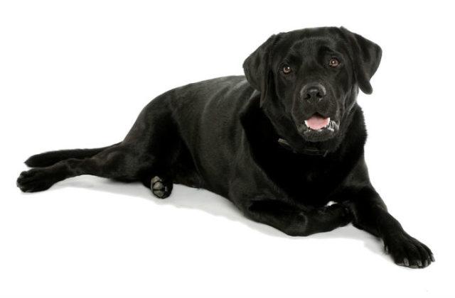 Черный лабрадор - внешний вид
