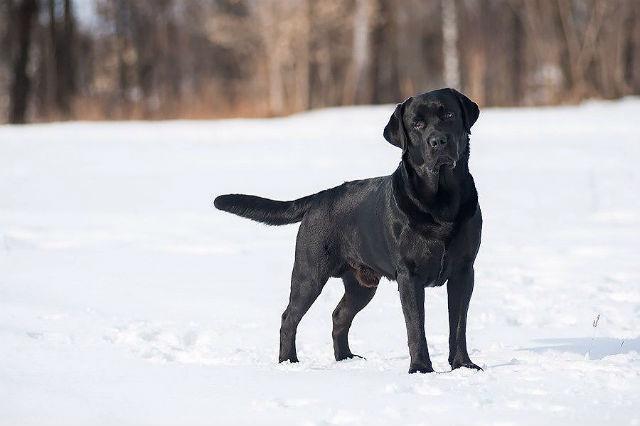 Черный лабрадор на зимней прогулке