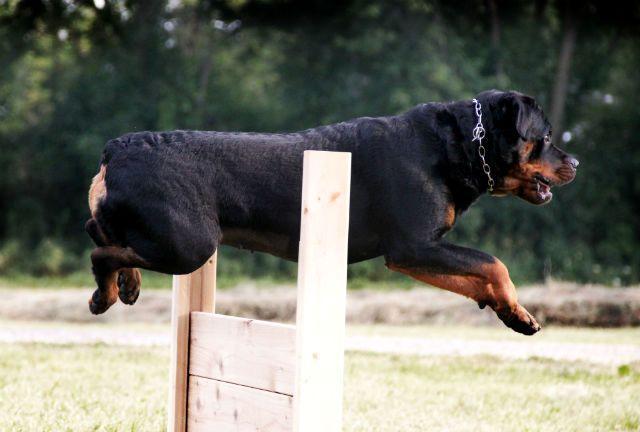 Дрессировка ротвейлера - прыжок через барьер