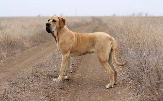 Фила бразилейро - самые злые собаки