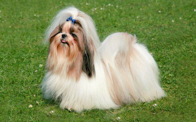 Ши-тцу - самые глупые породы собак