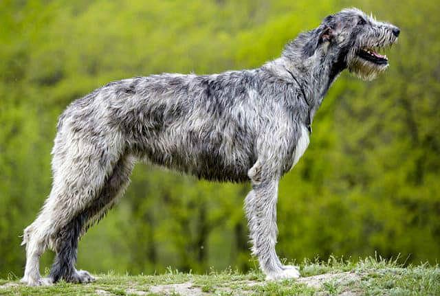 Крупнейшая порода - ирландский волкодав
