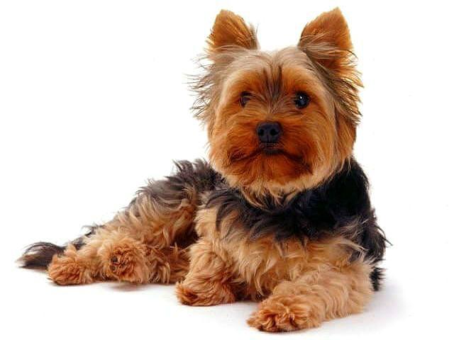 Йорк - маленькая порода собак