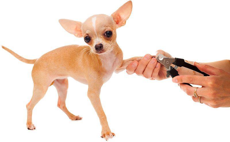 Как постричь ногти чихуахуа - главное фото