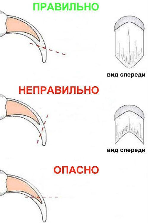 Как постричь ногти чихуахуа - правила