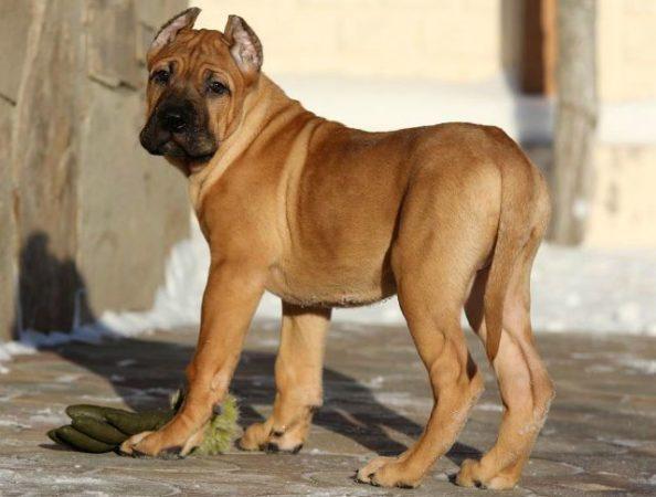 Канарский дог - выбор щенка