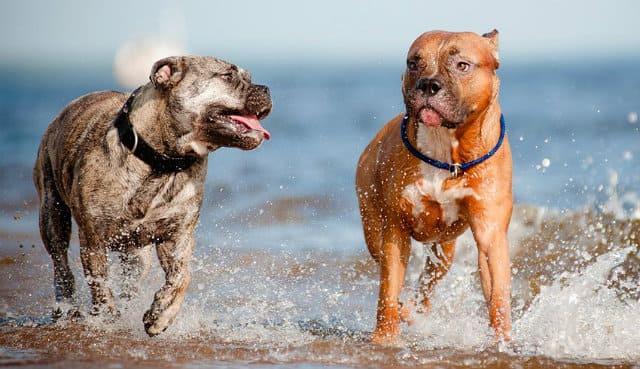 Топ-10 самых злых пород собак в мире