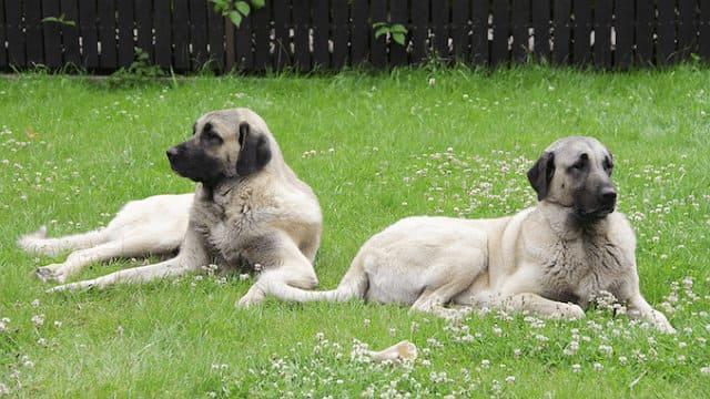 Собака с самым сильным укусом - кангал
