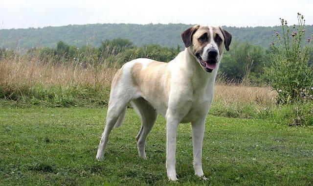 Собака, имеющая сильный укус - кангал