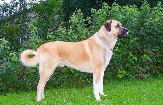 Кангал - собака с сильным укусом