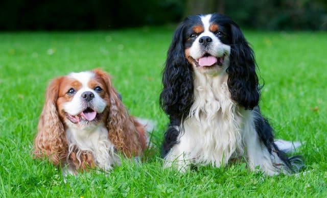Кавалер-кинг-чарльз-спаниель - красивые породы собак