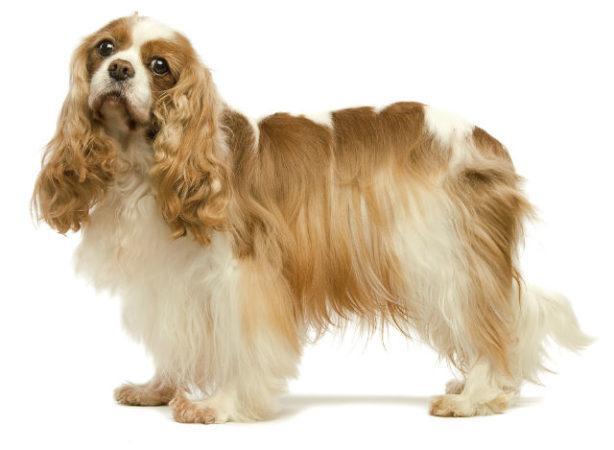Самые красивые породы собак - Кавалер-кинг-чарльз-спаниель