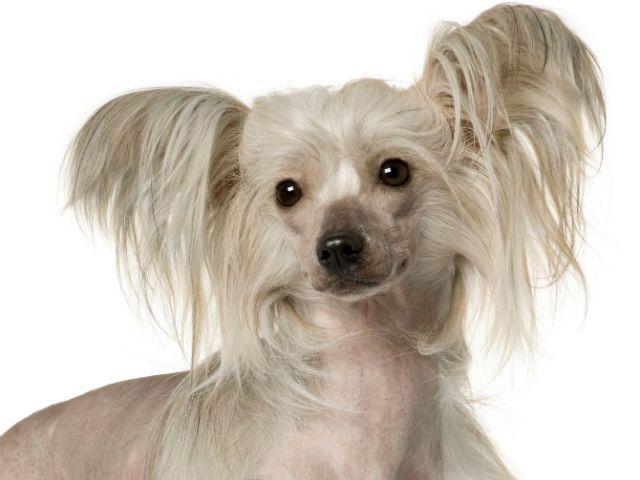 Самые смешные породы собак - Китайская голая собачка
