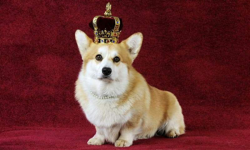 Корги королевы Елизаветы II