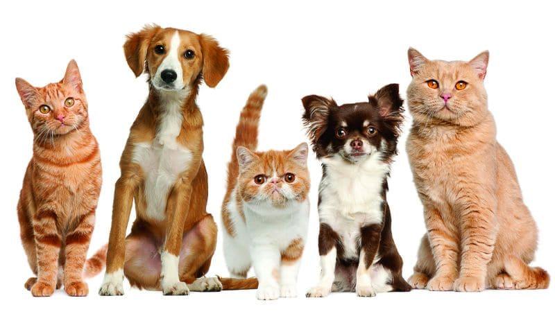Кто умнее: кошки или собаки