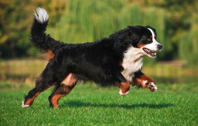 Собака в беге